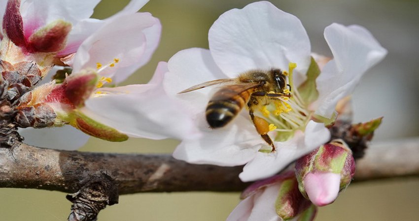 Almonds depend on bees.