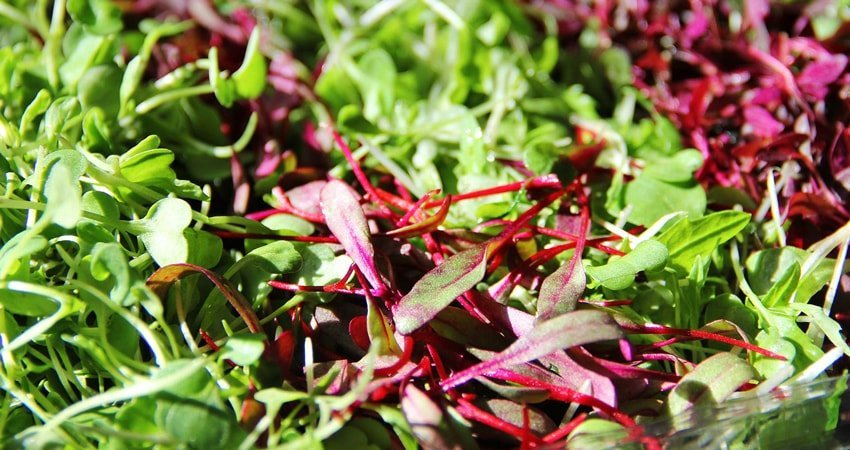 Microgreens Huge Benefits Of Tiny Plants Healthy Blog