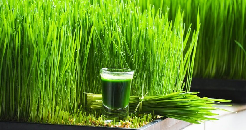 Side Effects of Wheatgrass
