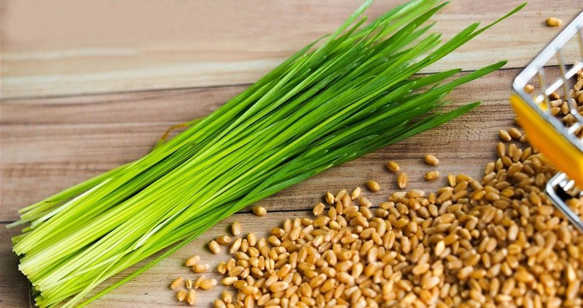 Where Can I Buy Wheatgrass?