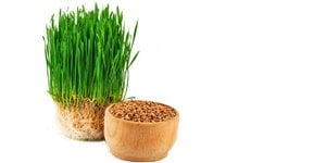 Health Benefits of Wheatgrass: Truth or Myth