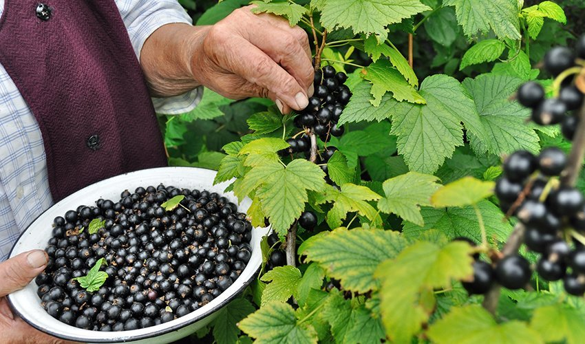 What About Black Currants Now
