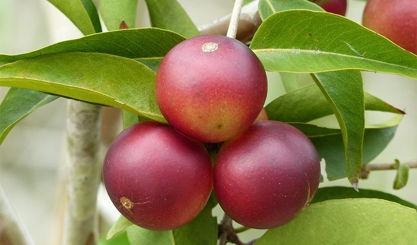 What is camu camu powder