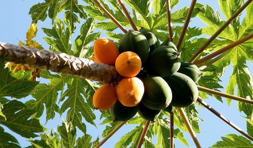 Where do Papayas come from