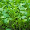 Microgreens: Huge Benefits of Tiny Plants