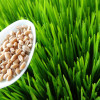 Health Benefits of Wheatgrass: Truth or Myth?