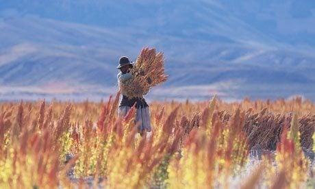 Quinoa havest