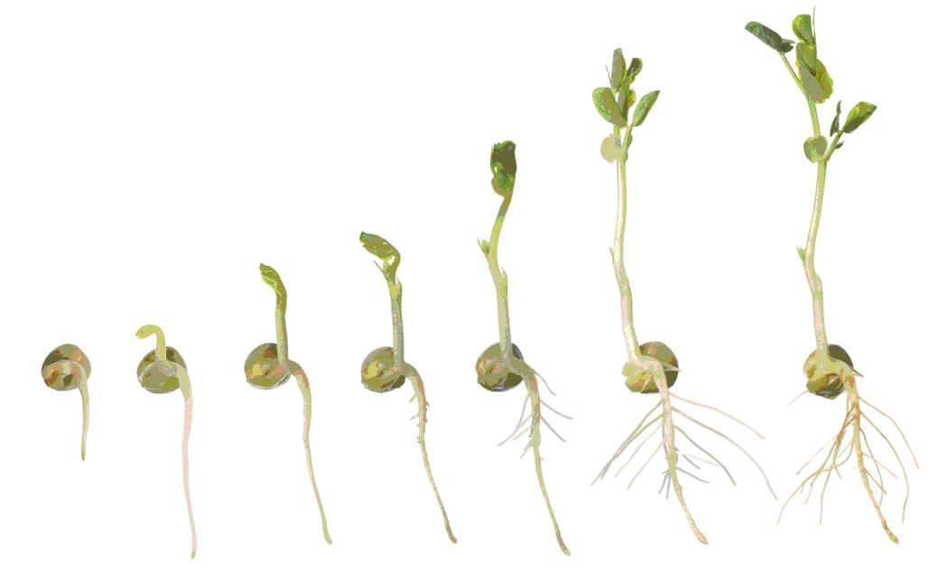 Sprouts life cycle