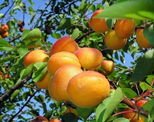 tasty apricots on a tree