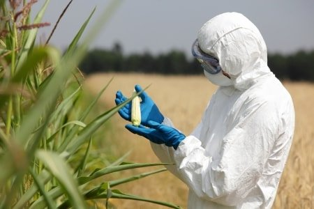 scientist examining GMO crop