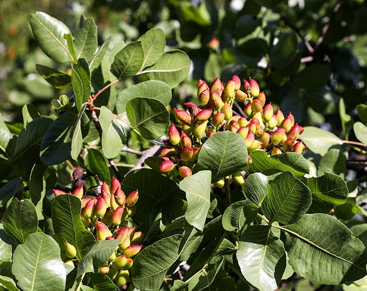 Growing pistachios on the branches of pistachio tree