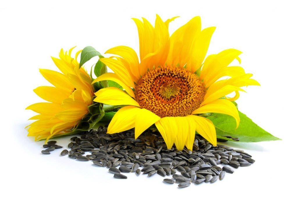 sunflower nutraceuticals snc acting as Acting as the ceo of sunflower nutraceuticals you will apply the principles of capital budgeting to invest in 10 different growth and cash flow improvement opportunities during three phases over a nine year period which you must decide to either accept or reject.