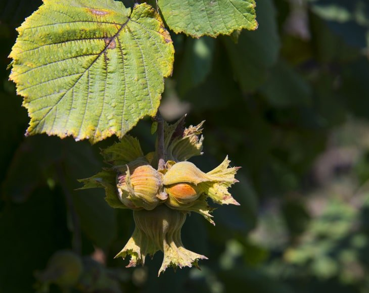 Organic Roasted Blanched Hazelnuts