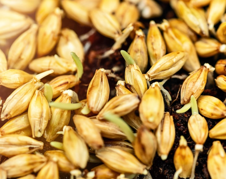 barley-sprout-powder-Germinated-seeds